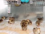 50 A&M Coturnix Quail Chicks