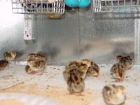 25 Pharoah Coturnix Quail Chicks