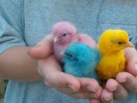 25 Assorted Colored Chicks